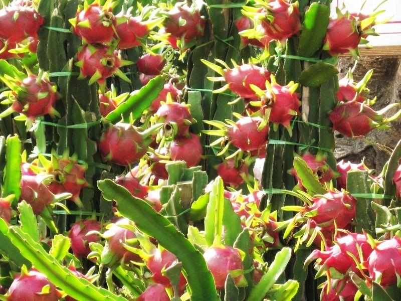 dragon fruit plant is frozen fruit as healthy as fresh fruit