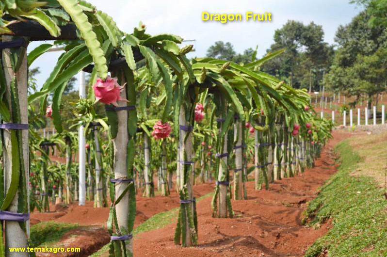 Dragon Fruit Planting Methods