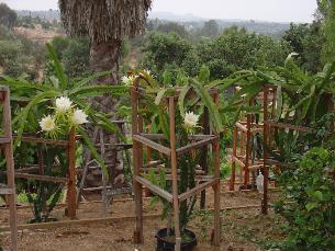how to grow dragon fruit in hindi